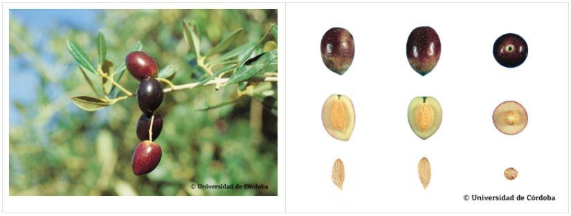 Variedad aceituna carrasqueña de Córdoba más cultivada en Andalucía