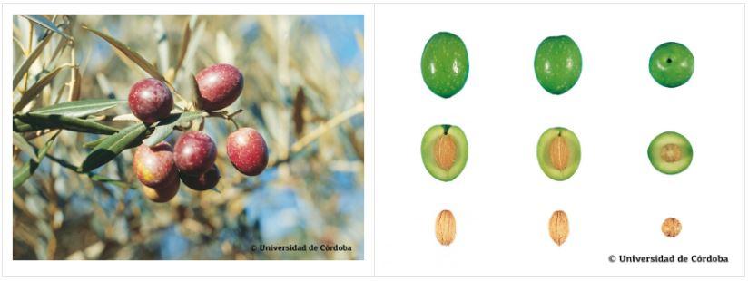 Variedad aceituna hojiblanca más cultivada en Andalucía