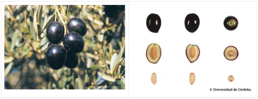 Variedad aceituna picual más cultivada en Andalucía