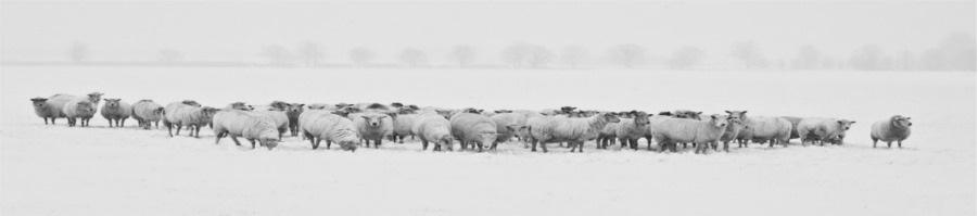 Oveja pastando para producir queso de oveja. Principales diferencias entre el queso de vaca, oveja y cabra