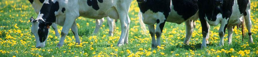 vaca pastando para producir queso de vaca. Principales diferencias entre el queso de vaca, oveja y cabra